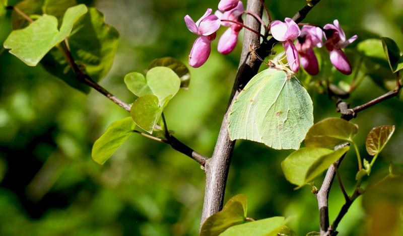 Eine Hecke für Schmetterlinge in unserem Garten