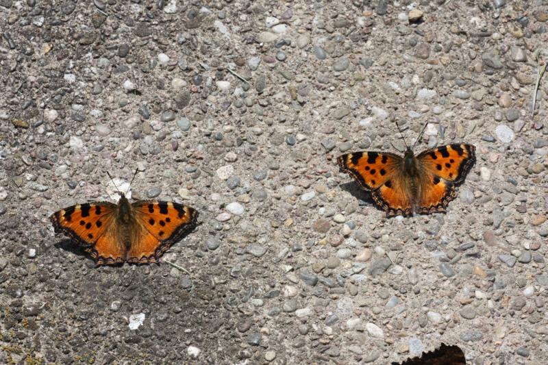 Uberwinternder Schmetterling In Der Wohnung Schmetterlingsforum