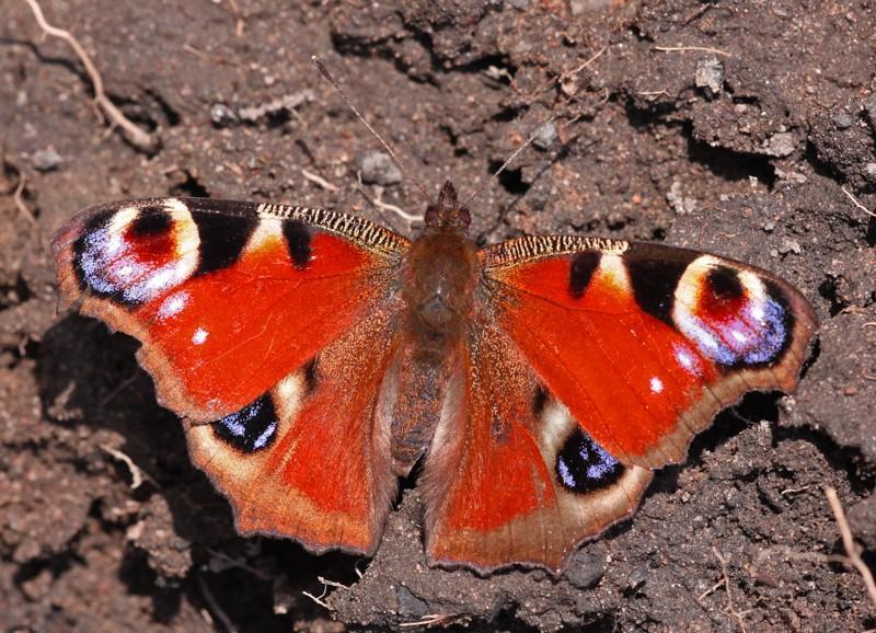 Überwinternder Schmetterling in der Wohnung?