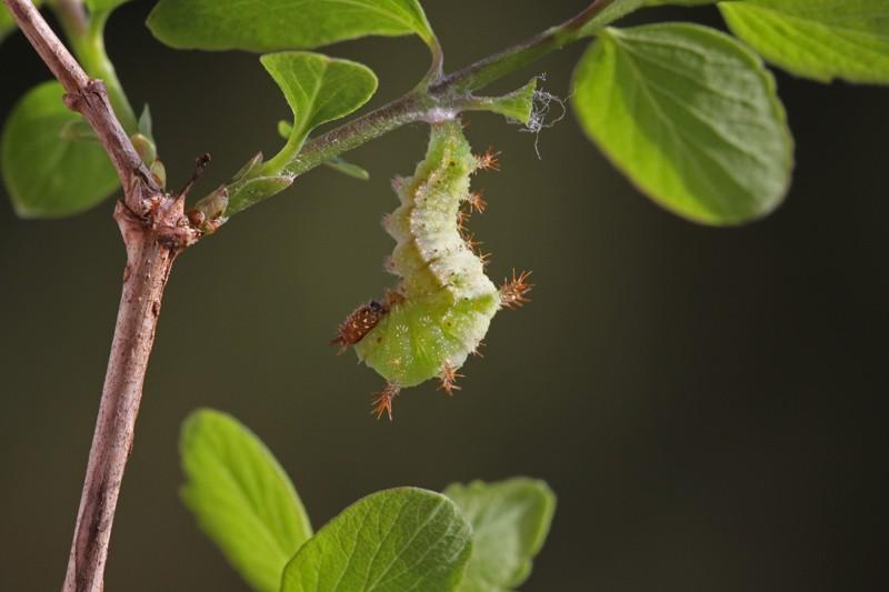Zuchtbericht - Limenitis camilla