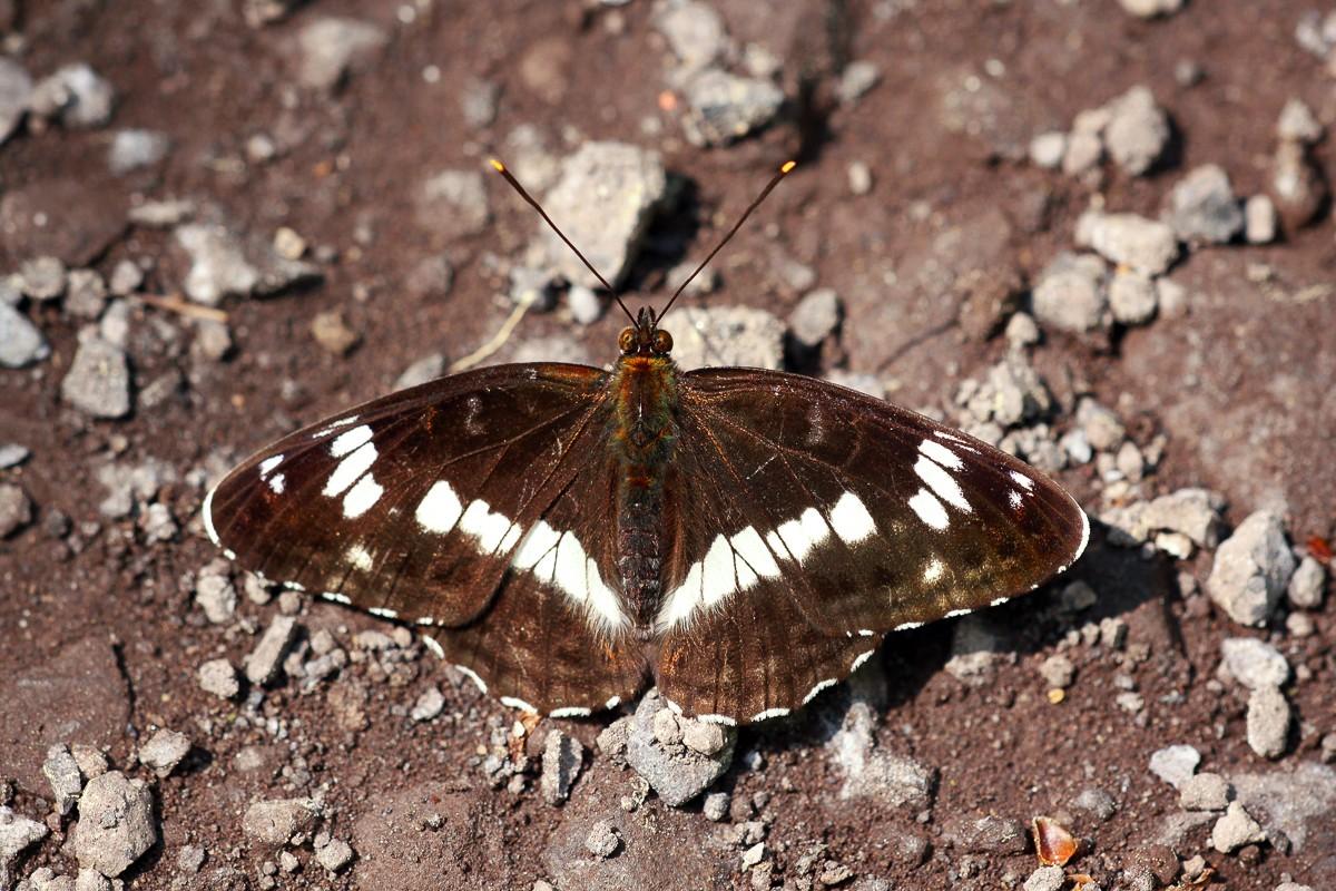 Limenitis camilla im Nordsaarland