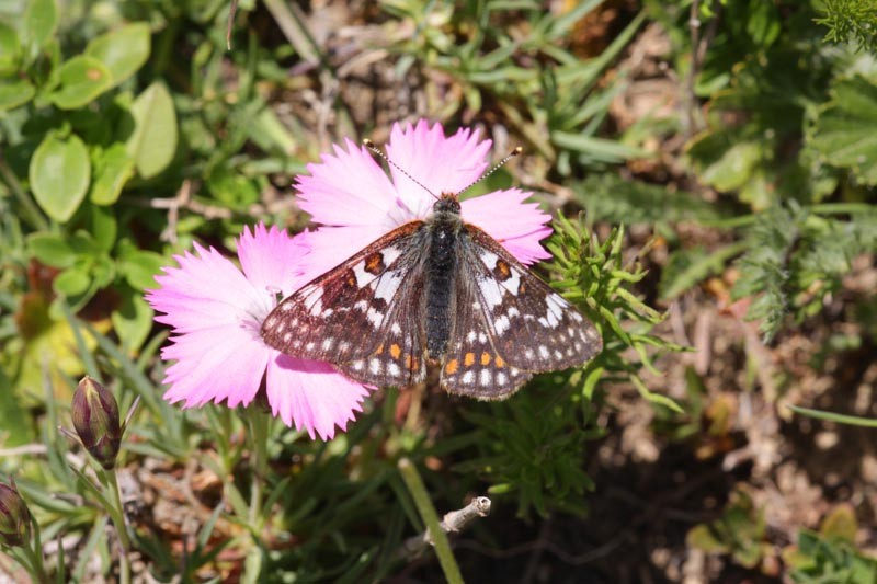 Euphydryas cynthia - Raupenüberwinterung und Zucht
