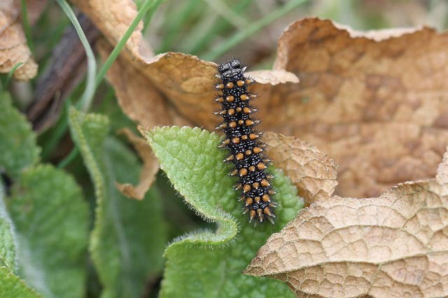Beitrag zur Larvalökologie von Melitaea athalia