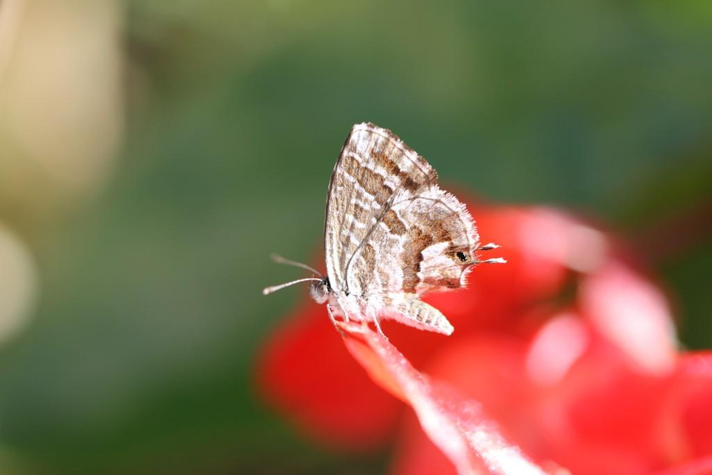 Cacyreus marshalli in der Provence