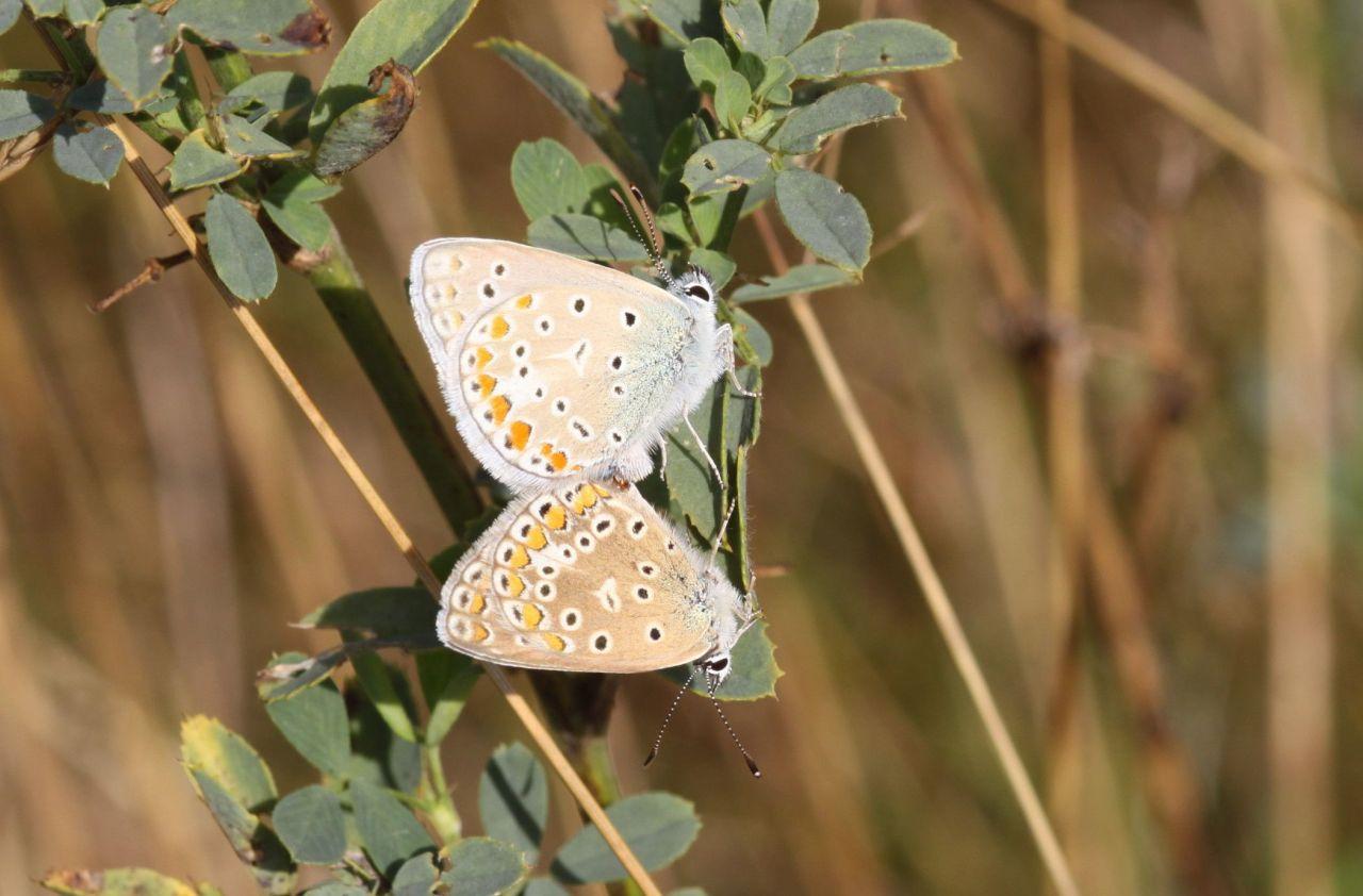e6993cd5edf261c2fcf43df3.jpg - Polyomatus icarus (Freyming-Merlebach (Frankreich), Sandgrube; 10.08.2013, M.ESträtling)