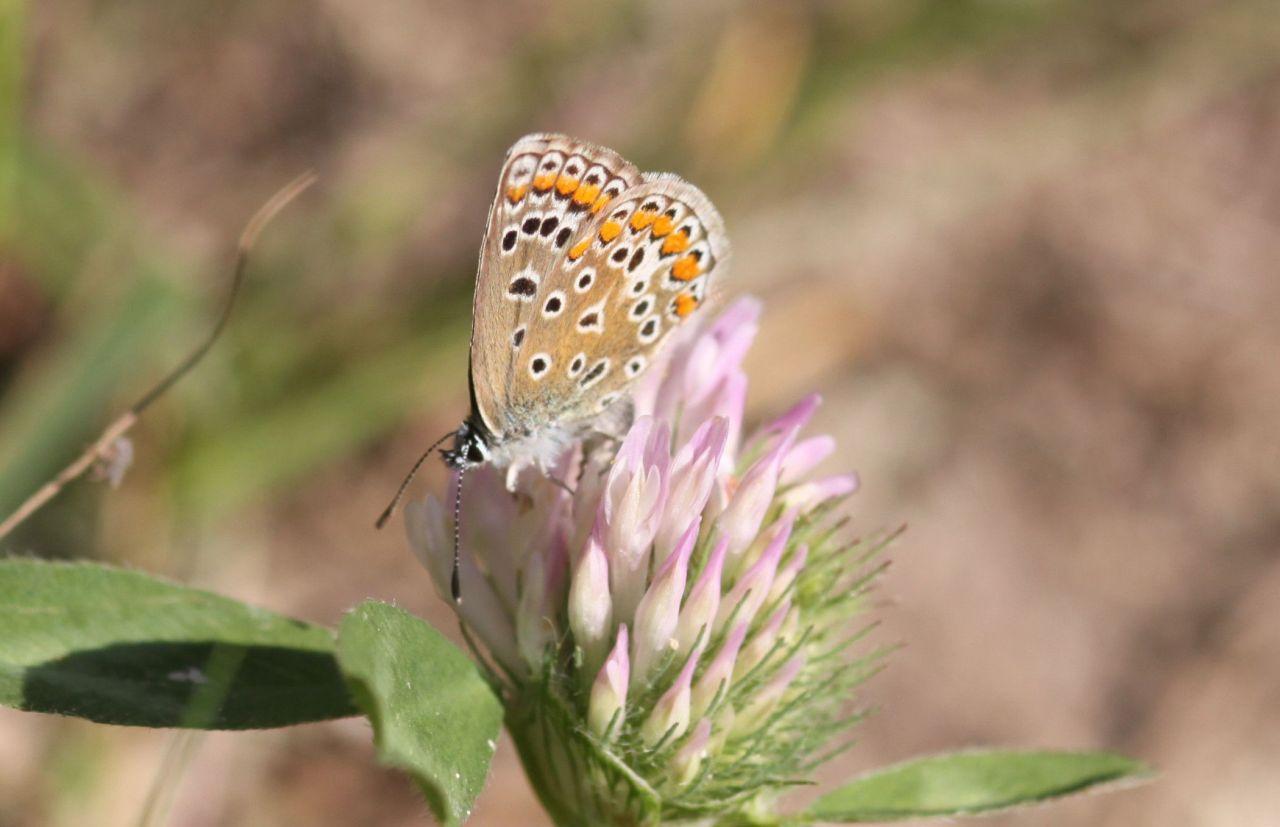 0b585dbb407a57edd87be6b2.jpg - Polyomatus icarus beim Eiablageversuch an Trifolium pratense