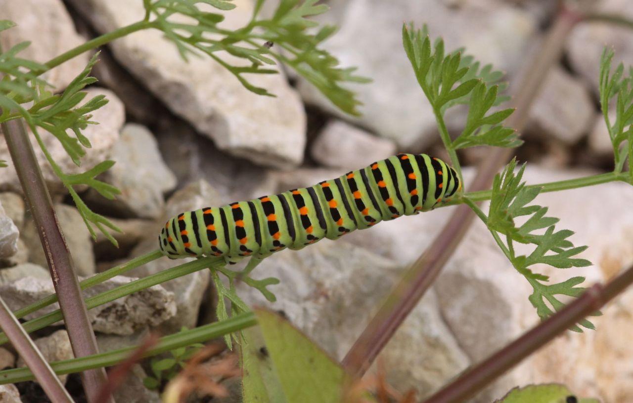acb56a30a3f41de73e6a407c.jpg - Papilio machaon (Großrosseln (Deutschland), Emmersweiler; 07.09.2013, M.E.Strätling)
