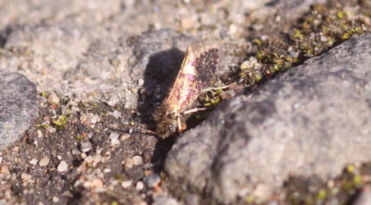 2ad727030d3676ba5e25545b.jpg - Heringocrania unimaculella (Großrosseln (Deutschland), Mühlenschneise; 29.03.2014, M.E.Strätling)