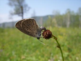 teleius in N Mongolia.png