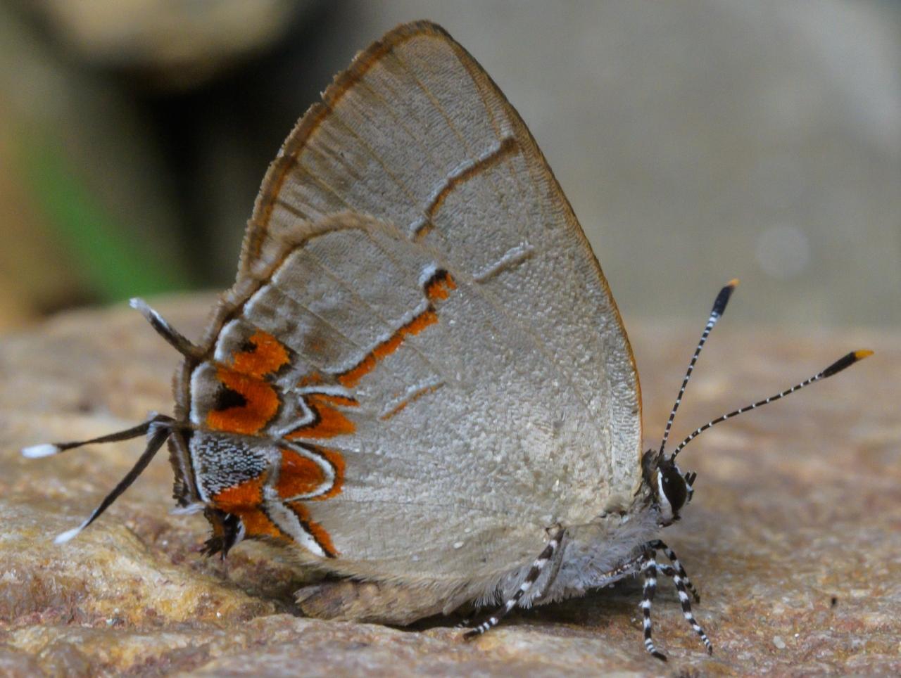 Calycopis orcilla (Hewitson, 1874)Fragezeichen