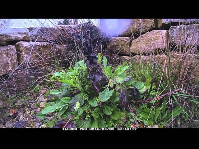 Euphydryas aurinia Raupenentwicklung im Zeitraffer 20160405