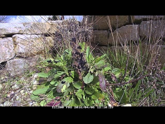 Euphydryas aurinia Raupenentwicklung im Zeitraffer 20160406